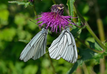 A close up of the white butterfly (black-weined white) (Aporia crataegi) on flower. Stock Photo