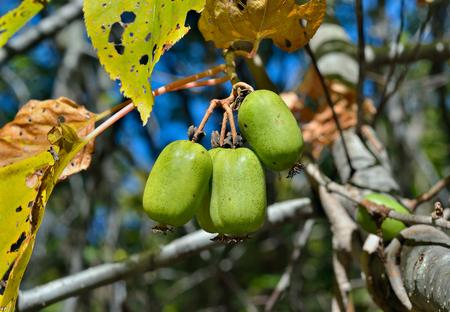 plucking: A close up of the berries on Far-East (Actinidia arguta) (hardy kiwi). Stock Photo