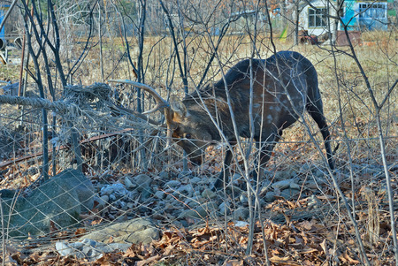 The spotted deer meshed in net on garden. Stock Photo