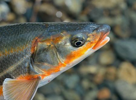 gill: A close up of the head fish (Leuciscus brandti).