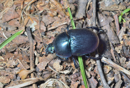 A close up of the dung-beetle.