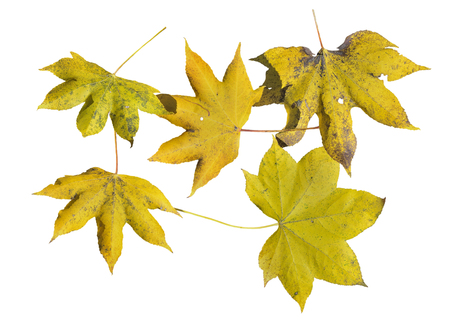 A close up of the yellow autumn leaves (Kalopanax septemlobus). Isolated on white. Stock Photo