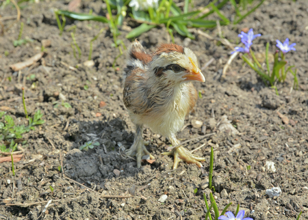 run down: A close up of the very small chicken.