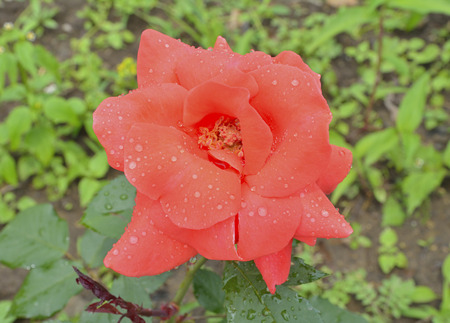 A close up of the flower red rose with raindrops on petals. Stock Photo