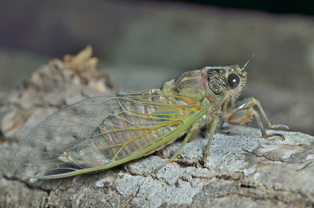 crick: A close up of the cicada on tree trunk. Stock Photo