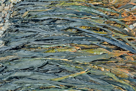 algal: A close up of the drift-weed drying on beach. Stock Photo