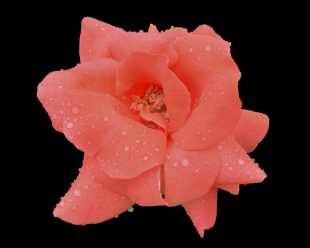 A close up of the flower pink rose with raindrops on petals. Isolated on black. Stock Photo