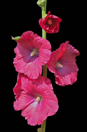 A close up of the flowers of mallow. Isolated on black. Stock Photo