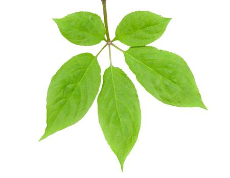 最も有名な薬用植物オタネニンジン (朝鮮人参) の葉のそばに。白で隔離。