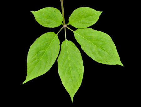 A close up of the leaf of the most famous medicinal plant ginseng (Panax ginseng). Isolated on black.