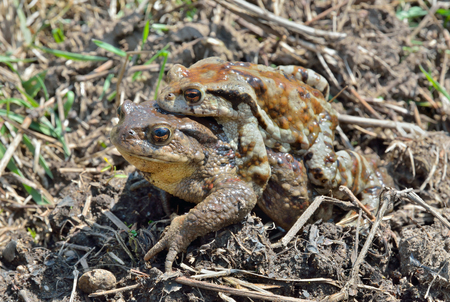 A close up of two toads (Bufo gargarizans) male and female. Stock Photo