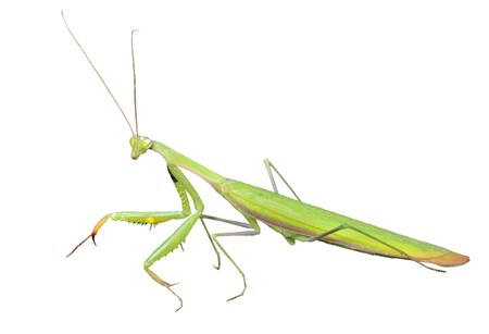raptorial: A close up of the mantis, profile. Isolated on white. Stock Photo
