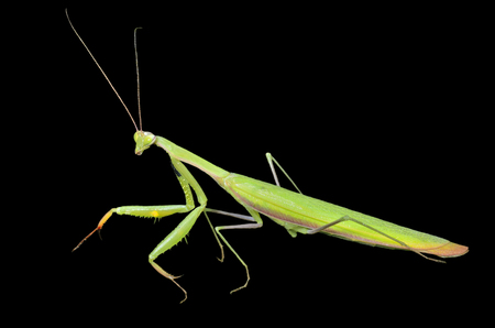 A close up of the mantis, profile. Isolated on black.