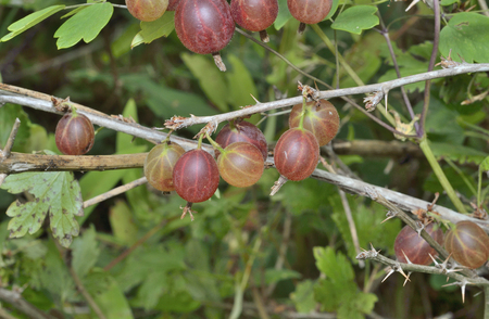 A close up of the berries of red berries gooseberry on branches. Stock Photo