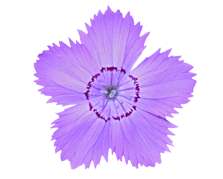 A close up of the flower wild pink (Dianthus chinensis). Isolated on white.