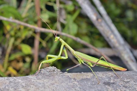 A close up of the mantis, profile.