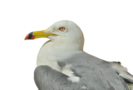 A close up of the seagull (Larus crassirostris). Isolated on white.