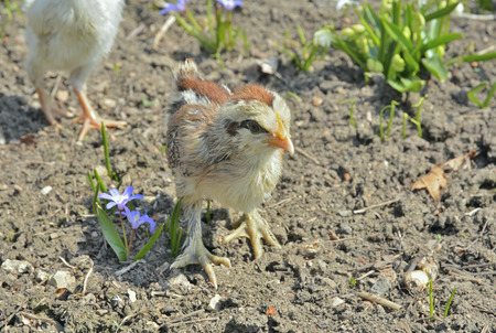 A close up of the very small chicken.