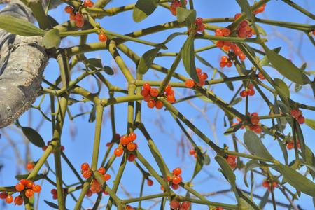 A close up of the medicinal plant mistletoe (Viscum coloratum). Stock Photo