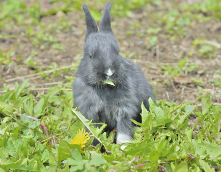 A close up of the young rabbit eating dandelion.