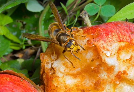 A close up of the hornet eating apple.