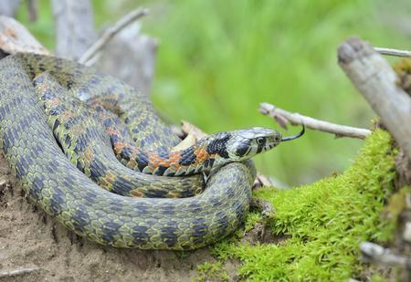 A close up of the snake (Rhabdophis tigrina).
