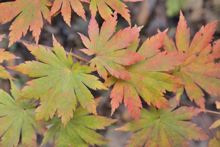 A close up of the red leaves of maple (Acer pseudosieboldianum).
