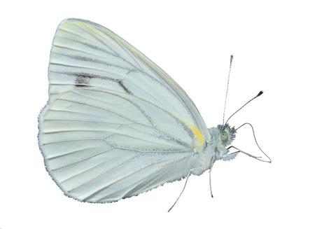 A close up of the butterfly garden-white (Pieridae). Isolated on white.