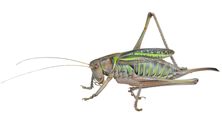 A close up of the doe of grasshopper. Isolated on white.