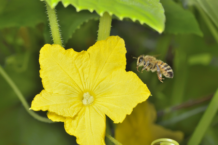 A close up of the flying bee before flower of cucumber.