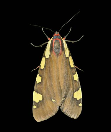 A close up of the butterfly tiger-moth (Pericallia matronula). Isolated on black.