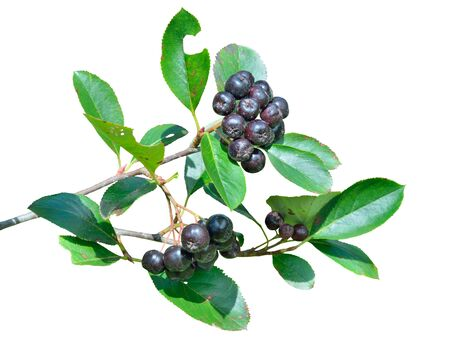 A close up of the branch of chokeberry with ripe berries. Isolated on white.
