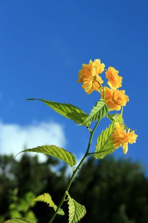 bloomer: this image shows a yellow buttercup with blue sky Stock Photo