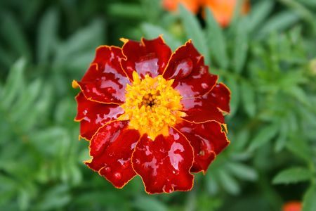 bloomer: this image shows a macro from marigold with water reflection Stock Photo