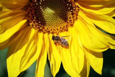 this image shows a sunflower with a little bee