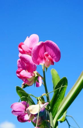 this image shows a sweet pea with blue sky Stock Photo