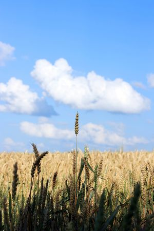 Wheatenculms