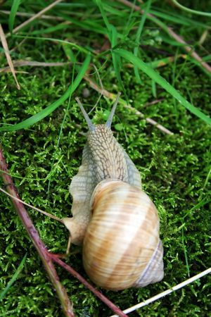 crawler: Big Snail Stock Photo