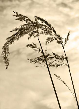 Sepia Grass  Stock Photo