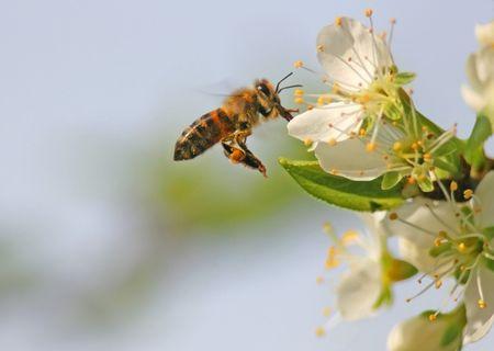 Bee in Flight photo