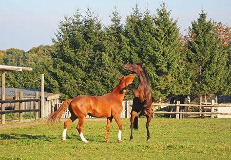 Fighting Horses photo
