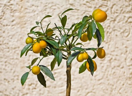 Kumquat Tree Stock Photo