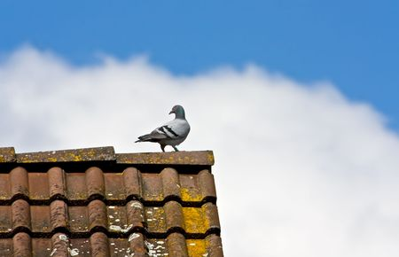 Pigeon at Roof