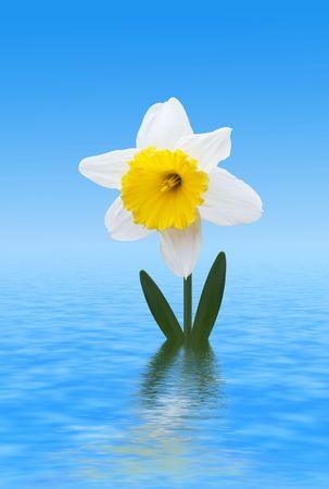 jonquil: White Daffodil