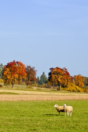 Sheeps in Fall Stock Photo