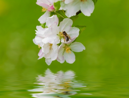 Apple Blossom Stock Photo - 13773003