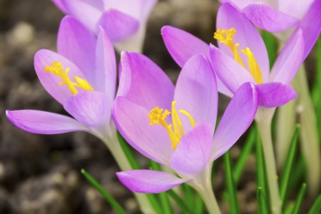 Pink Crocus Stock Photo