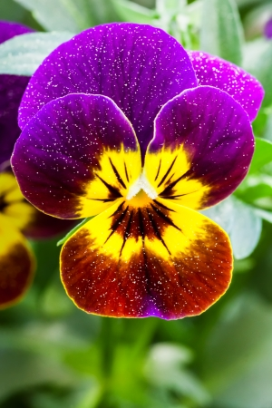 Colorful Pansy Stock Photo
