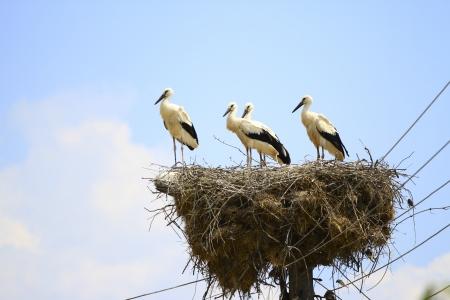 Stork on the nest photo