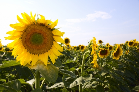 Many large and bright sunflowers on the field  Large yellow petals of flowers  photo